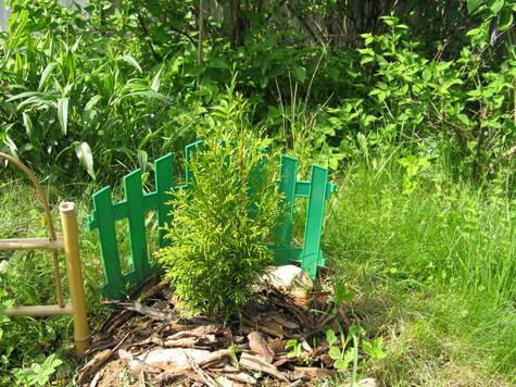 Хвойные растения на участке. Советы о посадке, уходе и черенковании