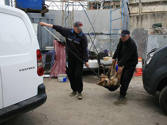 Транквилизатор против яда. Один день с ловцами бездомных собак