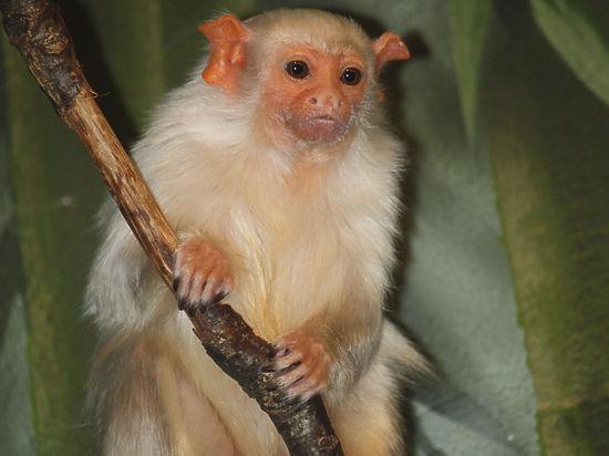 Во Франции украли редких обезьян: жертвы могут поубивать друг друга