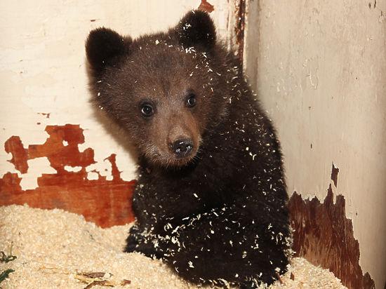 Медвежонка-«подкидыша» пытаются вернуть в дикую природу