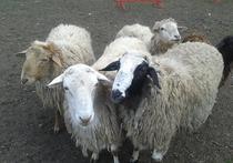 В единственном на всю Россию центре учат следить за овцами как собак, так и их хозяев