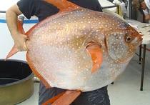 В океане нашли теплокровную рыбу