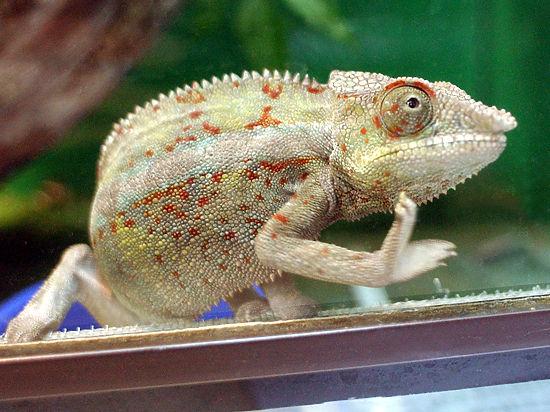 В контактном зоопарке на Арбате нашли хамелеона-нелегала