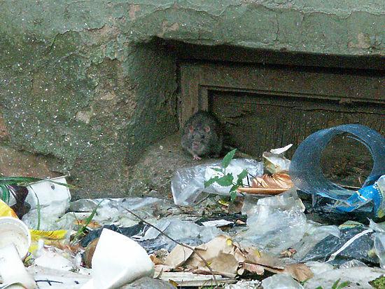 Крыс в Москве больше не стало