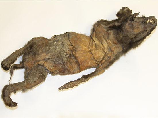 Российские ученые раскрыли гастрономическую тайну самой древней собаки