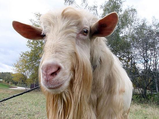Жительница Подмосковья судится с ветеринаром, заразившим ее козу сибирской язвой