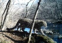 """Самка леопарда сплясала """"тверк"""" перед видеокамерой в приморском лесу"""