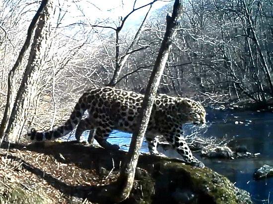 """Работники нацпарка""""Земля леопарда""""совместно с WWF России запечатлели леопарда с помощью видеоловушки"""