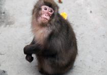 Учёные впервые объединили мозги обезьян в единую сеть