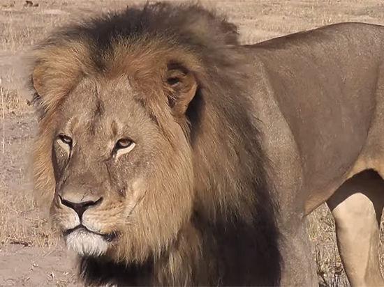 Знаменитого льва Сесила в Зимбабве убил дантист из США