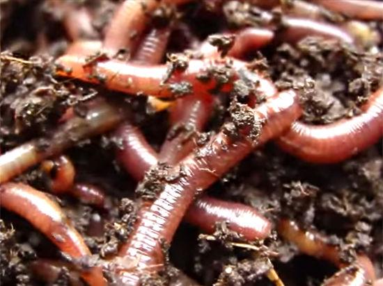 Секс дождевого червя