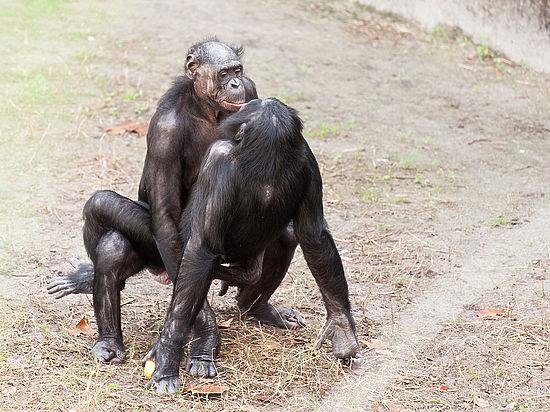 Секс у бонобо фото видео