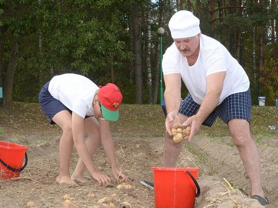 Лукашенко с сыном Колей за час накопали 70 мешков картошки