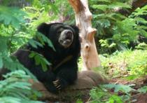 Гималайский медведь покусал беременную в Приморье