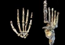 Древний родственник человека обладал большими способностями при небольшом мозге