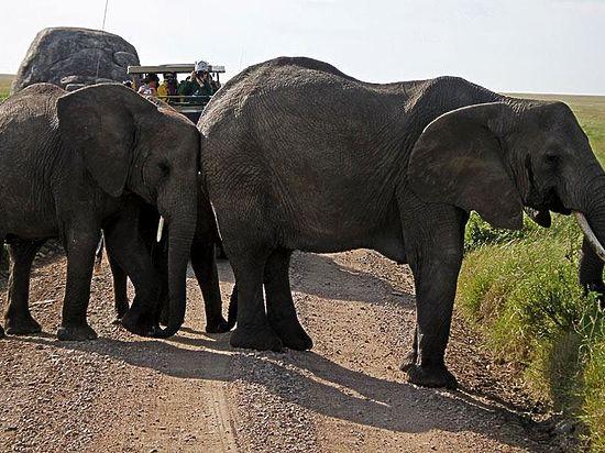 Хотя геномом TP53 система защиты слонов от рака не ограничивается: слоны не курят, например