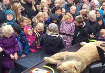 Датский зоопарк расчленил льва на глазах у детей