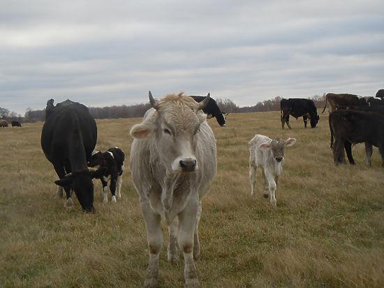 Вместе  с  десятками коров, свиней, овец, гусей и  кур