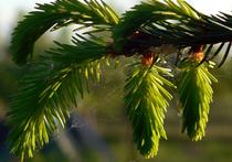 Настоящий еловый лес «вырастет» на крещенские купания в центре Москвы в январе