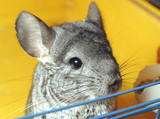 Ветеринары вылечили шиншиллу, которая попала в ловушку в московской квартире