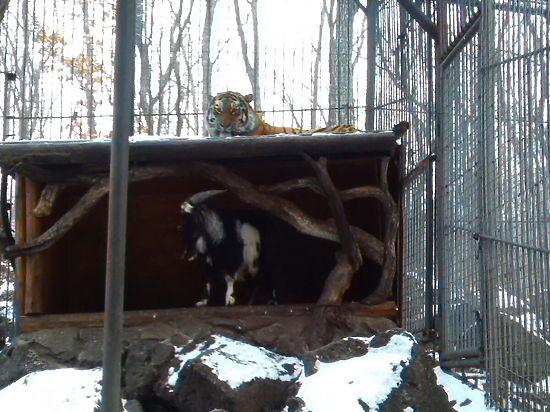 Смелый козел Тимур выселил амурского тигра из «спальни»