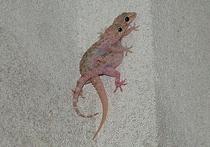 Китайские ученые выявили генетический базис одной из самых интригующих способностей гекконов – умения перемещаться по вертикальным поверхностям