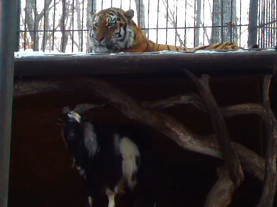Амурский тигр встал на защиту друга-козла