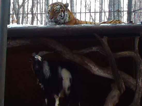 Зоозащитники пожаловались на мезальянс тигра Амура с козлом в Генпрокуратуру