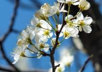 Цветы начали распускаться у кустарника форзиции, а также японской и столетней слив