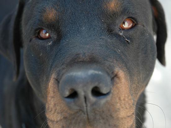 В Москве ветеринары спасли ротвейлера, съевшего суперклей