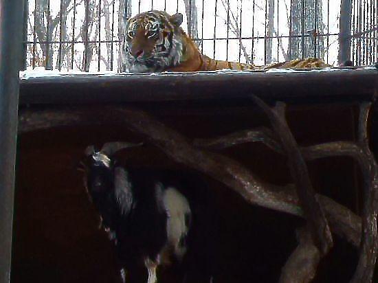Дружбу Тимура с тигром Амуром объяснило суровое прошлое козла