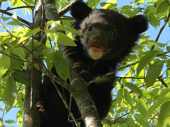 В Хабаровском крае спасли из капкана гималайского медвежонка