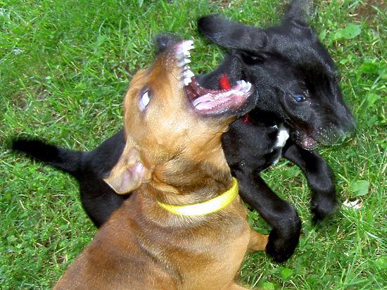 Волонтеры приюта, где охранника бросили на съедение псу, винят чиновников