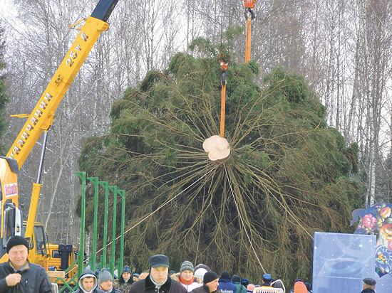 Главная елка страны пережила засуху и короеда