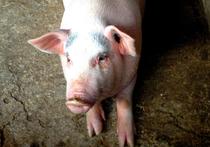 Китайские трансплантологии заявили, что в минувшем сентябре ими была проведена операция по пересадке искусственно выращенной биоинженерами роговицы свиньи человеку