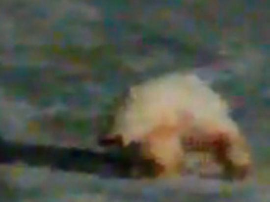 Агония белой медведицы, съевшей файер, попала на видео