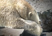 Работник компании «Русальянс», «накормивший» белую медведицу взорвавшимся предметом, отделался штрафом в 3 тысячи рублей, сообщает агентство FlashNord со ссылкой на администрацию заповедника