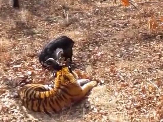 Россия смотрит реалити-шоу о жизни тигра Амура и козла Тимура