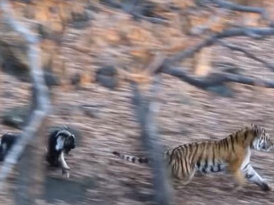 Амур и Тимур нашли новую забаву: друзья играют в мяч