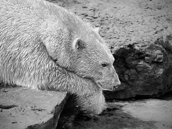 Месть за взрывпакет: белая медведица убила строителя в Арктике