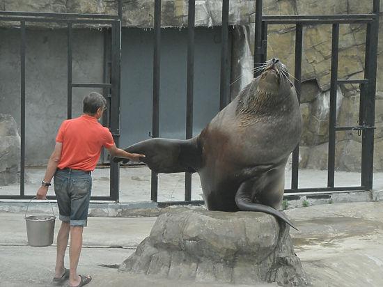 Почему сивуч Миша из Московского зоопарка предпочитает оставаться холостяком