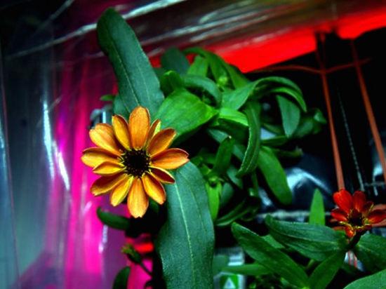 В космосе впервые зацвел цветок: на МКС распустилась астра-циния