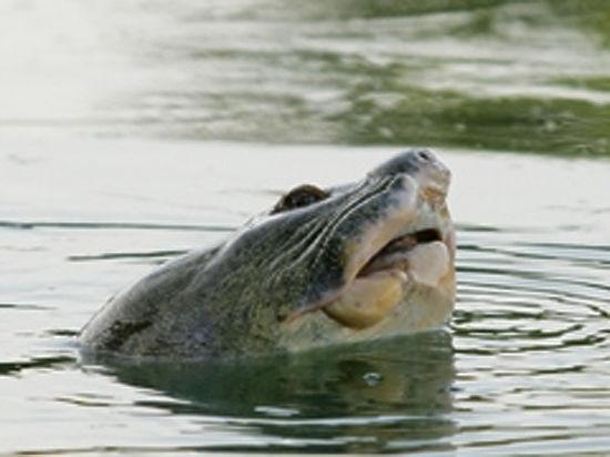 Умерла трёхсотлетняя гигантская черепаха, символизировавшая Вьетнам