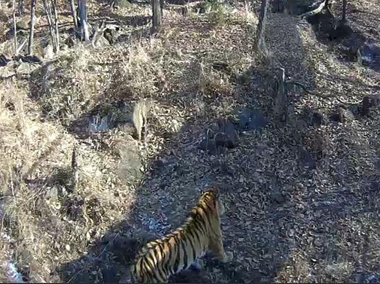 После нападения тигра козел получил серьезные травмы