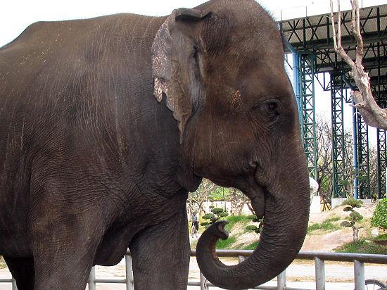 Слон убил туриста в Таиланде в целях самообороны