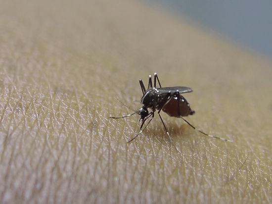 В распространении вируса Зика обвинили генетически модифицированных комаров