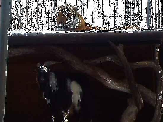Козла Тимура вылечили, но к тигру не пустили
