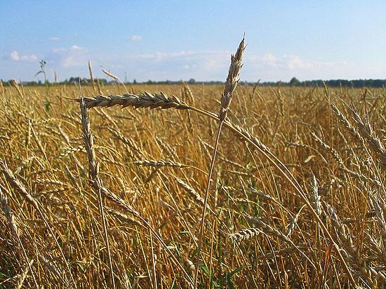 На фоне кризиса российская пшеница может завоевать лидерство в мире