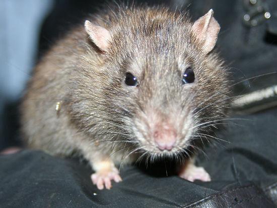 В России распечатанную на 3D-принтере щитовидку успешно вживили мыши