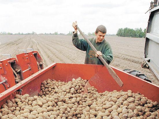 Картофель в России в изобилии, но до импортозамещения еще далеко